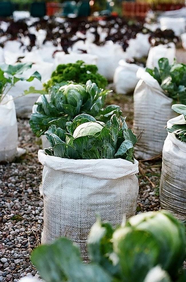 выращивание капусты в мешках