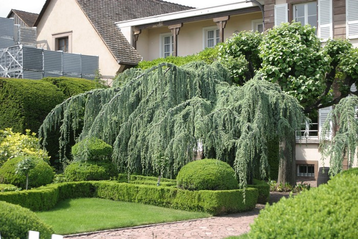 сад из хвойных деревьев