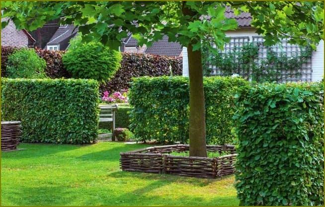 живая изгородь для частного дома