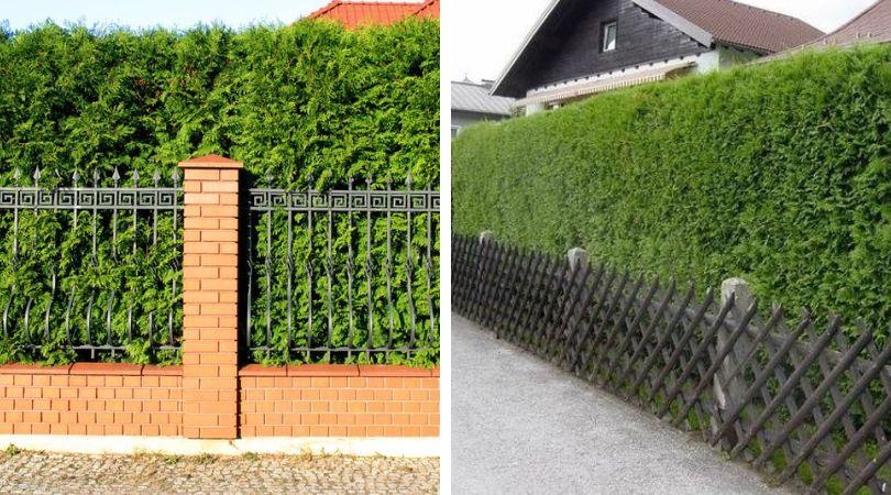 многолетний живой забор